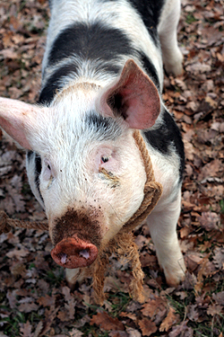 pigs find truffles