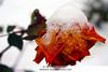 Une rose sous la neige (Elisabeth0320) Tags: schnee winter snow cold flower ice nature fleur weather rose garden frozen sad hiver sneeuw roos triste neige delicate botany froid bloem koud rosaceae blümen winterweer expressyourselfaward