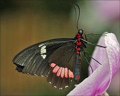 "Red Rim Butterfly in ""Jardin des Papillons"" (Foto Martien) Tags: france colour macro beautiful closeup butterfly insect wings frankreich colorfull butterflies insects exotic papillon alsace frankrijk makro mariposa coloured schmetterling vlinder kleurrijk papillons elsas kleuren polychrome elzas butterflygarden bont hautrhin veelkleurig hunawihr vlindertuin kleurig sonya100 sonyalpha100 jardindespapillons beautifulmonsters martienuiterweerd martienarnhem minoltamacro100mm28 martienholland"