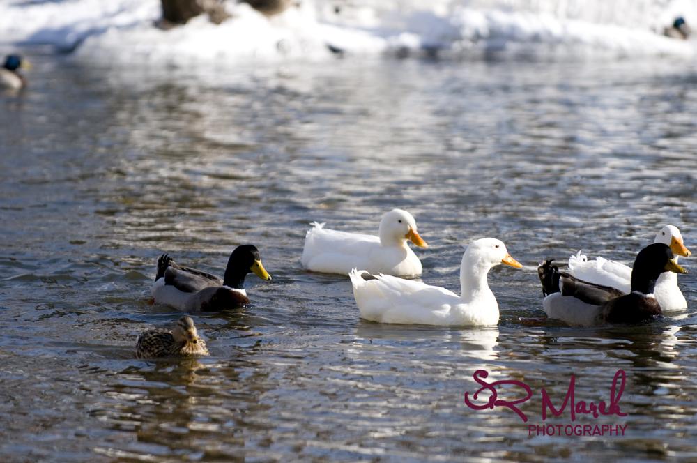 ducksrs