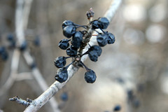 blue-black berries