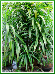 Potted Dracaena deremensis, an unidentified garden variety in our garden