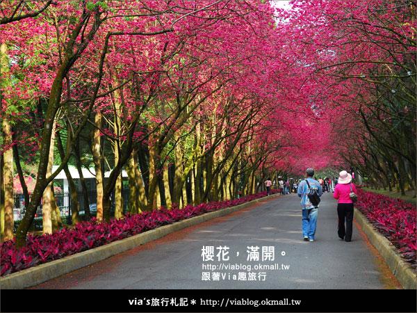 【九族櫻花季】櫻花滿開!最浪漫的九族文化村櫻花季32