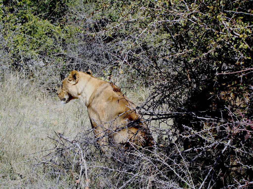 DSC08295 lioness