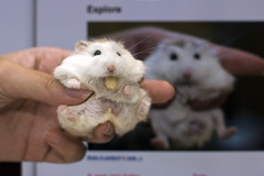 Bebe is happy (jade_c) Tags: pet animal mammal rodent singapore hamster bebe roborovski pinenut  dwarfhamster  roborovskihamster phodopusroborovskii whitefaceroborovskidwarfhamster