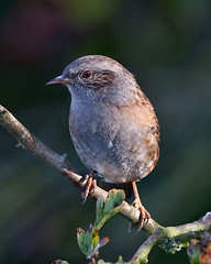 Mr Dunnock has his eye on you (Andrew Haynes Wildlife Images) Tags: bird eye nature wildlife feathers stare warwickshire draycote canon40d ajh2008