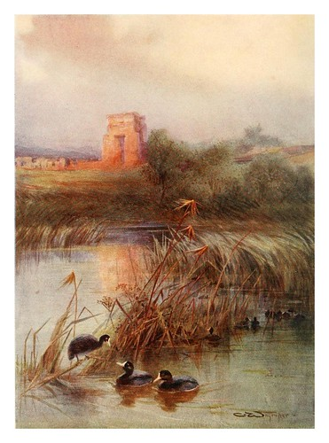 015-fochas en el lago sagrado de Karnak-Egyptian birds for the most part seen in the Nile Valley (1909)- Charles Whymper