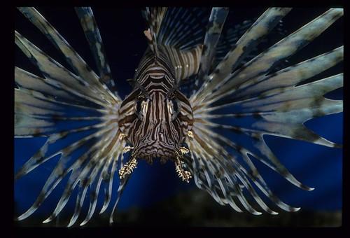 獅子魚。照片提供:廖運志