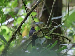 Black-faced Solitaire singing (Ensifera ensifera) Tags: costa rica monteverde solitaire blackfaced melanops myadestes