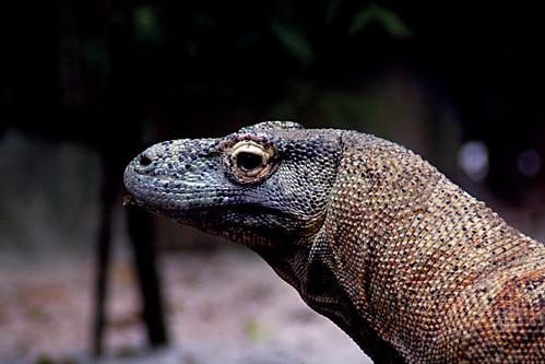 Komodo Dragons, Komodo National Park.