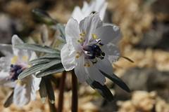 A Setsubun-sou in full bloom (photoholic image) Tags: flower macro sign flora pistil petal stamen bloom filament earlyspring signofspring sepal breathofspring
