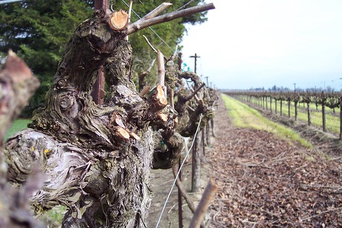 Vines - Bogle Vineyards