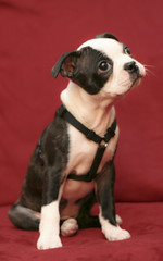 Zoe at 11 weeks ( Just me... ) Tags: portrait dog pet boston puppy bostonterrier terrier