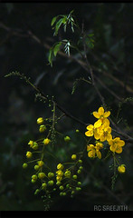 Happy VISHU |  Indian Laburnum (Kerala's official flower) () (RC Sreejith | ) Tags: goldenshowertree indianlaburnum kanikonna kanikkonna casiafistula keralaflower jith1312 sreejithrc rcsreejith keralasofficialflower