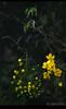 Happy VISHU |  Indian Laburnum (Kerala's official flower) (കണികൊന്ന) (RC Sreejith | ശ്രീജിത്ത്) Tags: goldenshowertree indianlaburnum kanikonna kanikkonna casiafistula keralaflower jith1312 sreejithrc rcsreejith keralasofficialflower