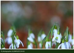 Spring | Frhjahr | Primavera | Printemps (GLOBI  FUZZI) Tags: wood flowers primavera spring blumen wald printemps schneeglckchen frhjahr knigsforst canoneos50d canoneos40d globifuzzi