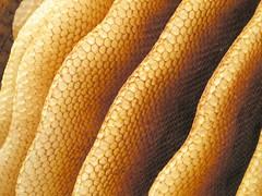 Naturbauwaben in Warré-Beute (blumenbiene) Tags: bees wax hive comb beekeeping bienen beeswax wachs warre bienenwachs waben apiculture imkerei bienenvolk naturbau warré naturwaben