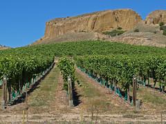 Vines, Mount Difficulty vineyard, Bannockburn (Fraser P) Tags: newzealand gold vineyard vines desert wine mining erosion southisland otago bannockburn sluices mountdifficulty