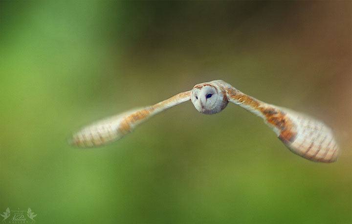 Barn Owl inflight1