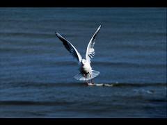 (MohaMmad@LI) Tags: uk sea england nikon gull united north kingdom tyne wear tynemouth 60  d60