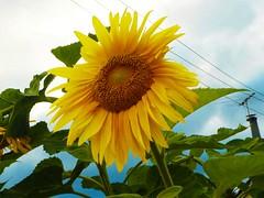 Big and Beautiful (Yim Wai Hong) Tags: newzealand sunflower floraandfauna