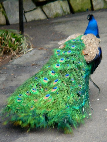 peacock green.