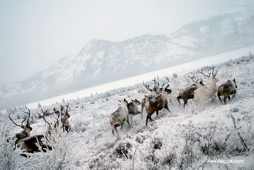 Reindeer in Yakutia, North Siberia, Russia. Photo by Bolot Bochkarev.