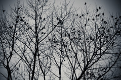 Twitter (Veerle Pieters) Tags: tree birds sparrows twitter