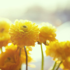Yellow for the weekend (Morphicx) Tags: sun sunlight blur yellow bokeh ranunculus 5d 50mmf14 bokehwhores bokehwhore