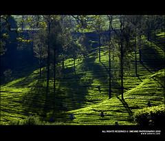 Valparai Tea Plantations (Smevin Paul - Thrisookaran !! www.smevin.com) Tags: