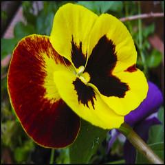 Feliz fin de semana - Happy weekend (Pilar Azaña Talán ) Tags: color yellow flor viola pensamiento vivero abigfave thesuperbmasterpiece 100commentgroup pilarazaña theoriginalgoldseal