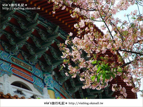 【淡水天元宮櫻花】跟著via賞花趣~天元宮櫻花最新花況10