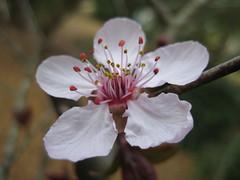 IMG_5066 (vstone1288) Tags: whiteflower blossom plumtree plumflower prunuscultivar