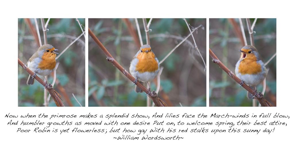 Robin triptych (74/365)