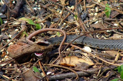 snakeeatslizard