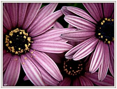 Ah, Bless yah. (KFrench Photography) Tags: flowers daisies purple 100views daisy pollen mygarden sneeze picnik purpleflowers sanjoseca myyard purplepetals threeflowers makesyousneeze