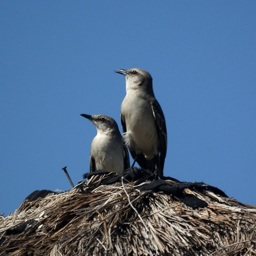 Tropical Mockingbirds