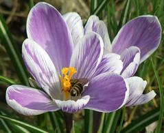 Kerkhegyen 024 (ketrin54) Tags: insect purple crocus lila pistil petal bee stamen bibe szirom masterphotos krkusz porz katkafot kerkhegyen 2010spring marc2010