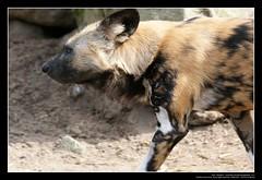 African Wild Dogs / Afrikanische Wildhunde (03) (Georg Sander) Tags: pictures wild wallpaper dog dogs zoo photo foto shot image photos shots african picture perro photograph fotos bild capture duisburg garten bilder captures africano lycaon zoologischer aufnahmen salvaje aufnahme pictus wildhunde afrikanischer wildhund afrikanische wildehond hyänenhund cynhyène gerald1311 hyänenhunde wildehonds