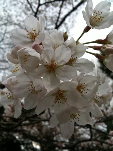 乃木神社の桜