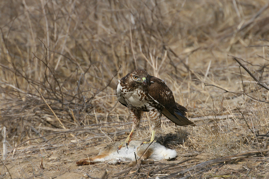 Red-tailed-Hawk-110904