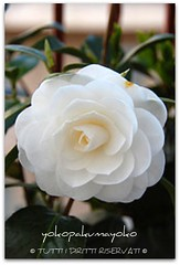 Bianco (yokopakumayoko) Tags: sardegna flora  fiore colori bianco nuoro thesuperbmasterpiece irgoli dalmiogiardino provdinuoro spitzenfotos