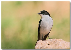 Semi-collared Flycatcher (explored)   (mohammad khorshid (boali)) Tags: flycatcher naturesfinest   semicollared