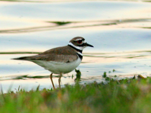 Killdeer 20100327