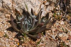 Dudleya species (Eric Hunt.) Tags: california succulent granite crassulaceae inflorescence dudleya glaucous decomposedgranite