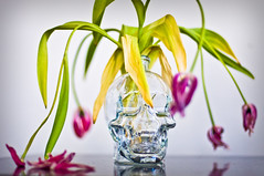 Skull & Tulips (Michael Caswell) Tags: flowers canada dead tulips technicolor vancouverbc deadflowers 50mmf14d d90 crystalskull flickraward crystalheadvodka