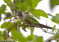 Grey-breasted Parakeet - Pyrrhura griseipectus