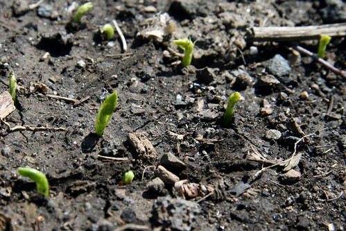 pea sprouts 062