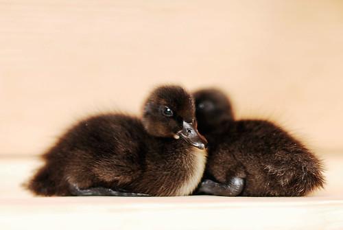 Ducks!!