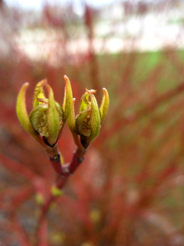 Dogwood buds popping